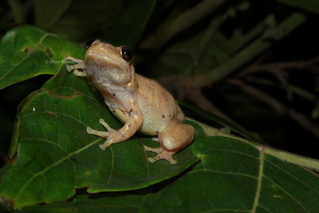 Naked Tree Frog (Litoria rubella)