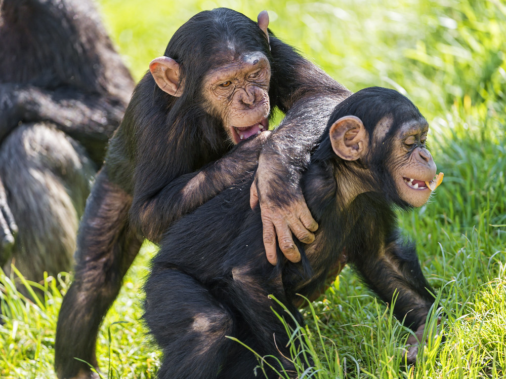 All sizes | Two young chimpanzee playing | Flickr - Photo Sharing!