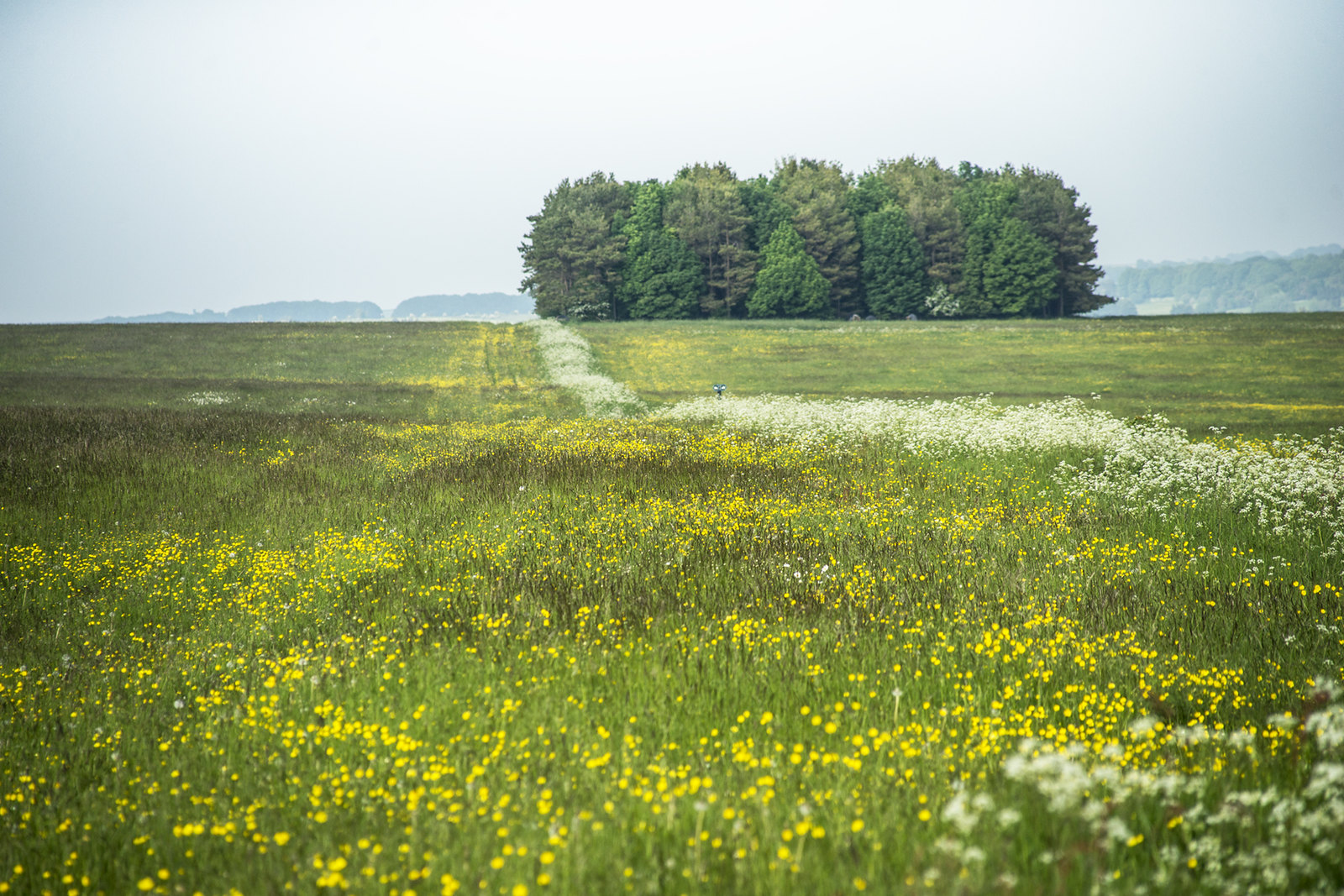 Copse with Umbellifers and Buttercups