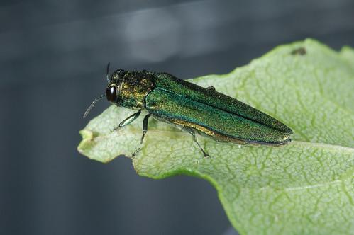 The emerald ash borer beetle on a leaf