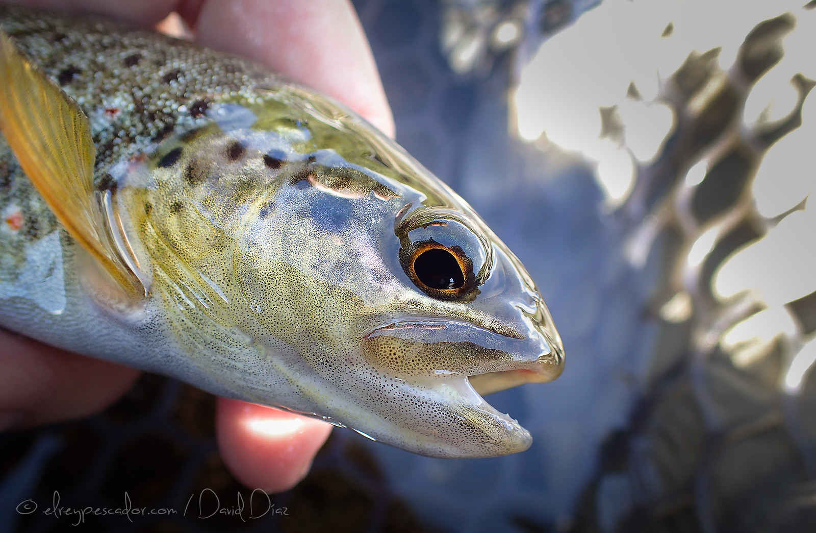 Trucha del Barbellido (Ávila) / Flyfishing