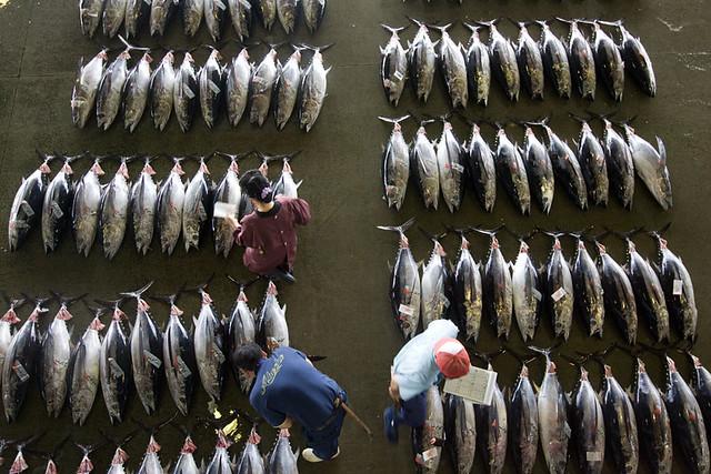 日本宮城縣氣沼市魚市場黑鮪魚貿易。(攝影:Alex Hofford)