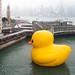 """""""Florentijn Hofman: Rubber Duck: Hong Kong 2013"""" / Crazyisgood Art Installation / SML.20130508.6D.05448"""