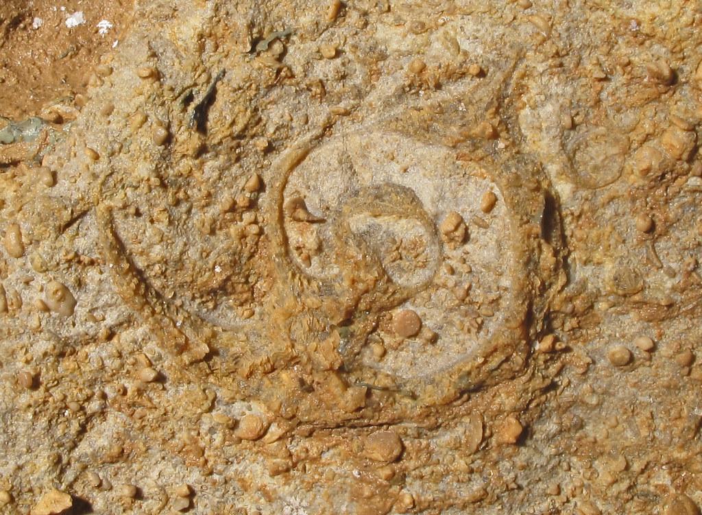 Gastropod Fossil Mississippian Age Bangor Limestone Drag