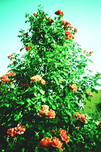 赤いバラ / Red Rosese