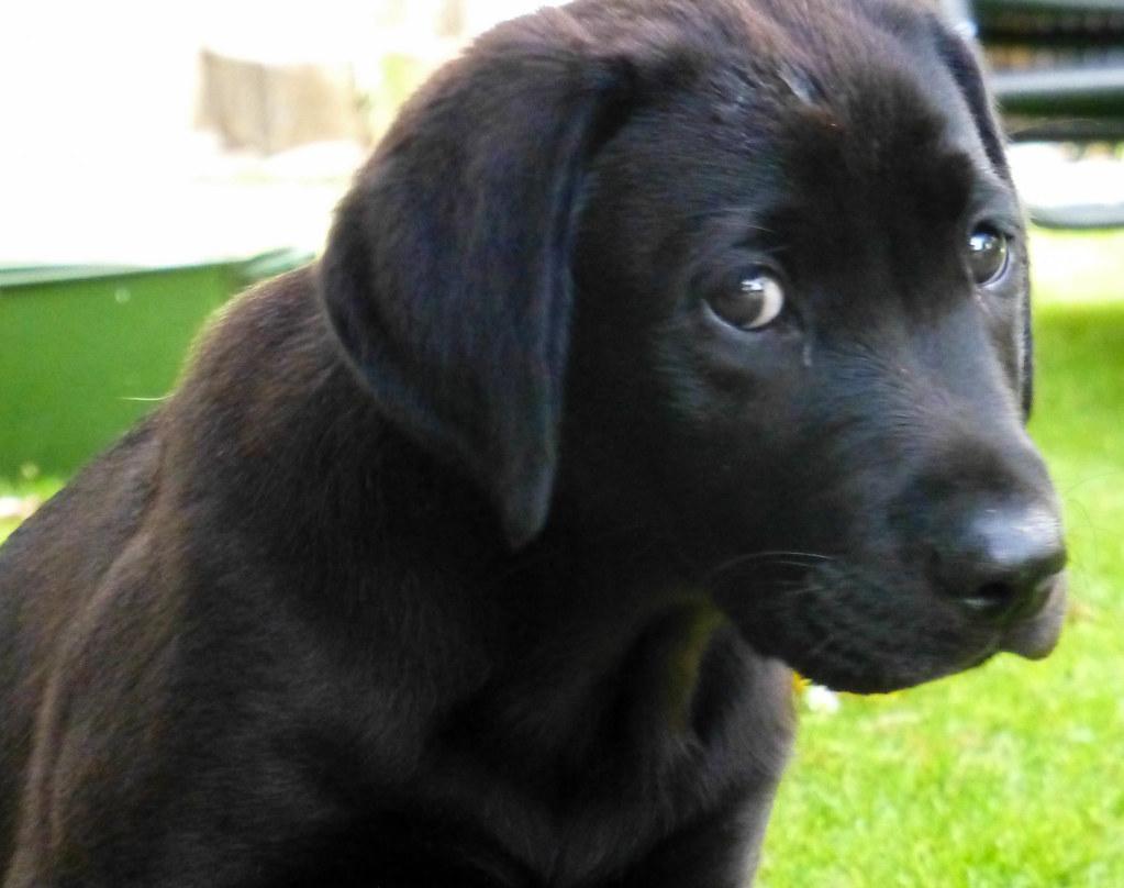 Baby Black Labrador | Black Lab at 12 weeks | John Dunne ...