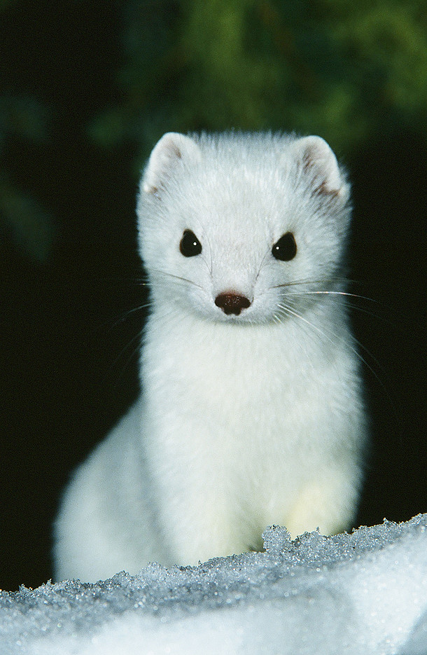 Close Up Of Pure White Ermine In The Snow