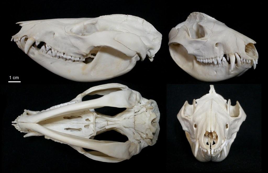 Crâne d'Opossum de Virginie / Virginia Opossum Skull (Dide ...