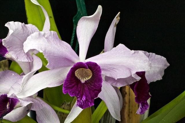 "Laelia purpurata var.(russelia ""graciana"" x roxo-violeta ""clito"") x sib 27564363585_11db77f14c_z"