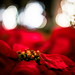 Longwood at Christmas: Poinsettia Point of View