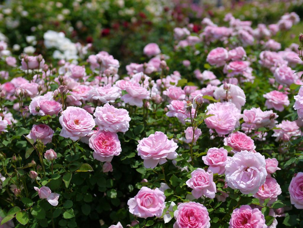 english_rose__