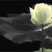 Lotus Flower Oil Paintings / Lotus flower oil Painting / Photographic images using Akvis Oil Paint Filter -