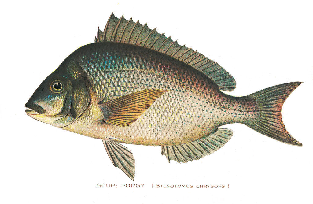 Scupporgy scup porgy fish nys dec flickr for Nys dec fishing