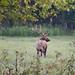 Boxley Valley Bull Elk