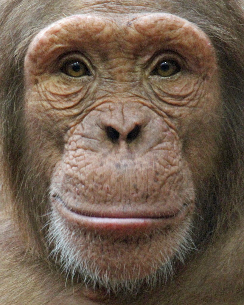 Chimpanzee | Taken at colchester Zoo | Paul Bugbee | Flickr