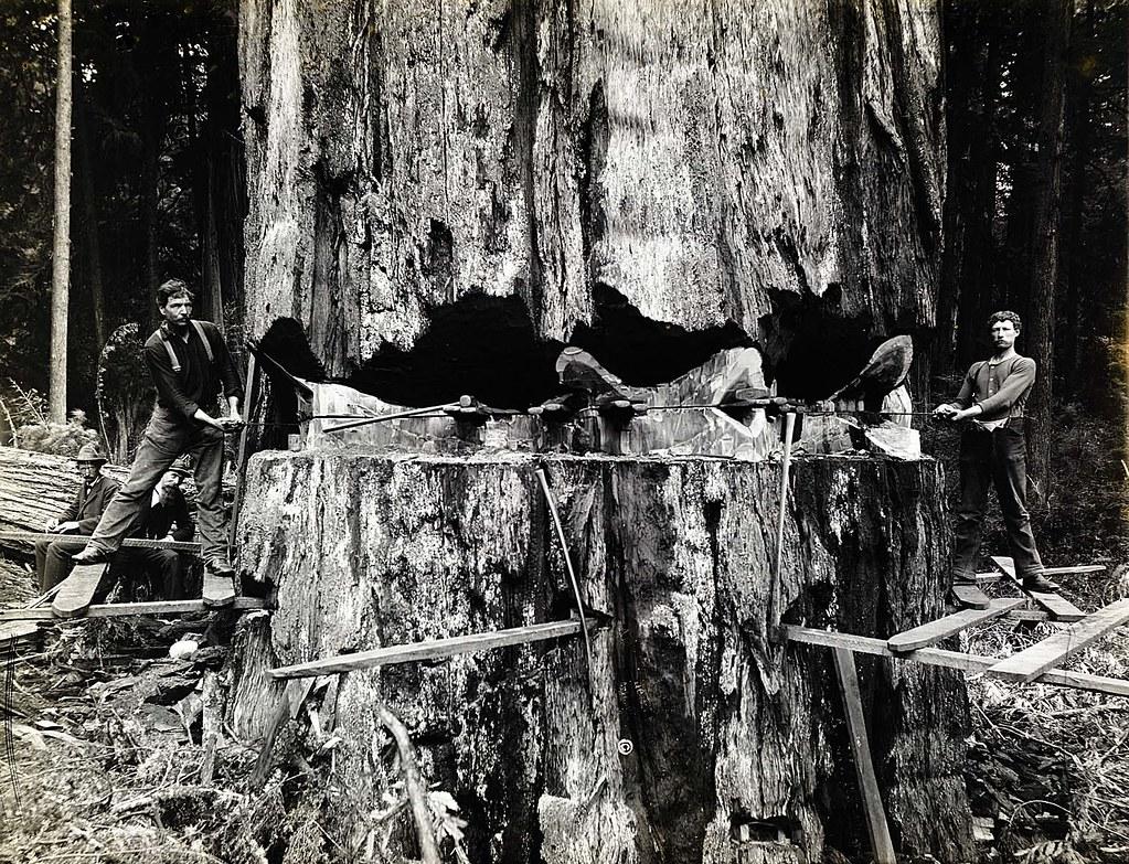 Logging The Virgin California Coastal Redwood Forests 187