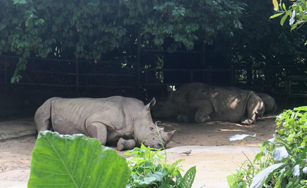 Rhinos, Singapore Zoo