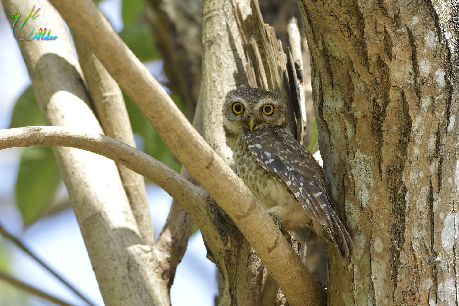 Spotted_Owlet_6978