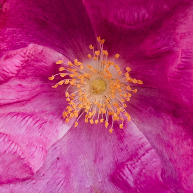 rugosa rose closeup
