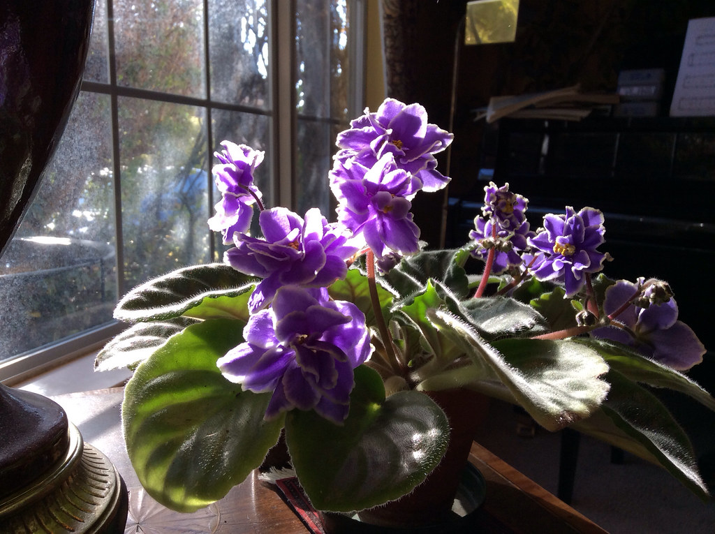 African Violet Caribbean Blue I Ordered This African