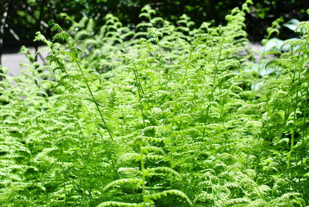 Front Yard Ferns Waban Ma Photo Blogged Here Lorianne