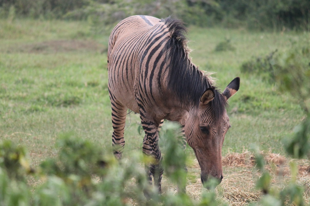 372 | A zorse - half zebra/half horse - at the Mount Kenya ...