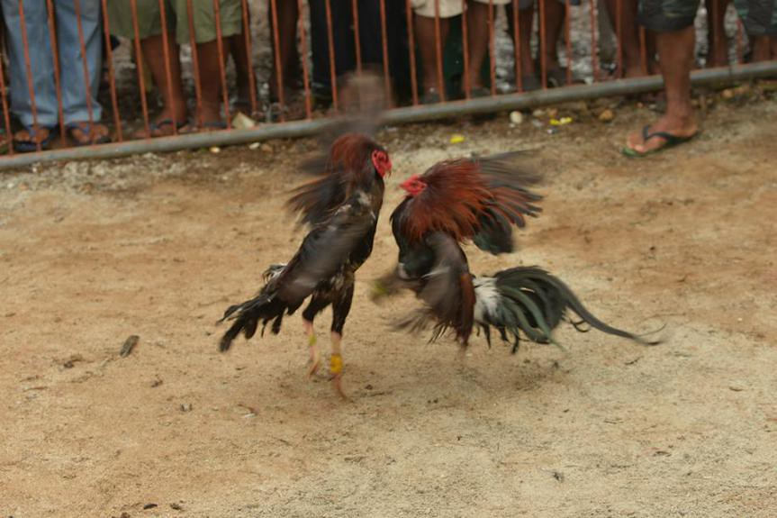 Bantayan Cockfight