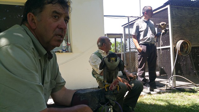 AionSur 26939867964_2e33f5f4a0_z_d Una mañana con los halconeros de la Base Aérea de Morón Medio Ambiente