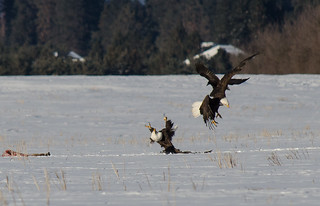Eagle Fight 2 | by jkmnomads