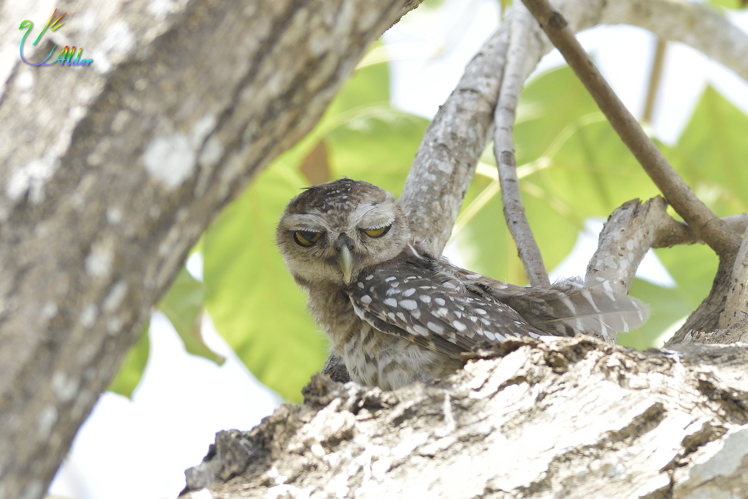 Spotted_Owlet_7090