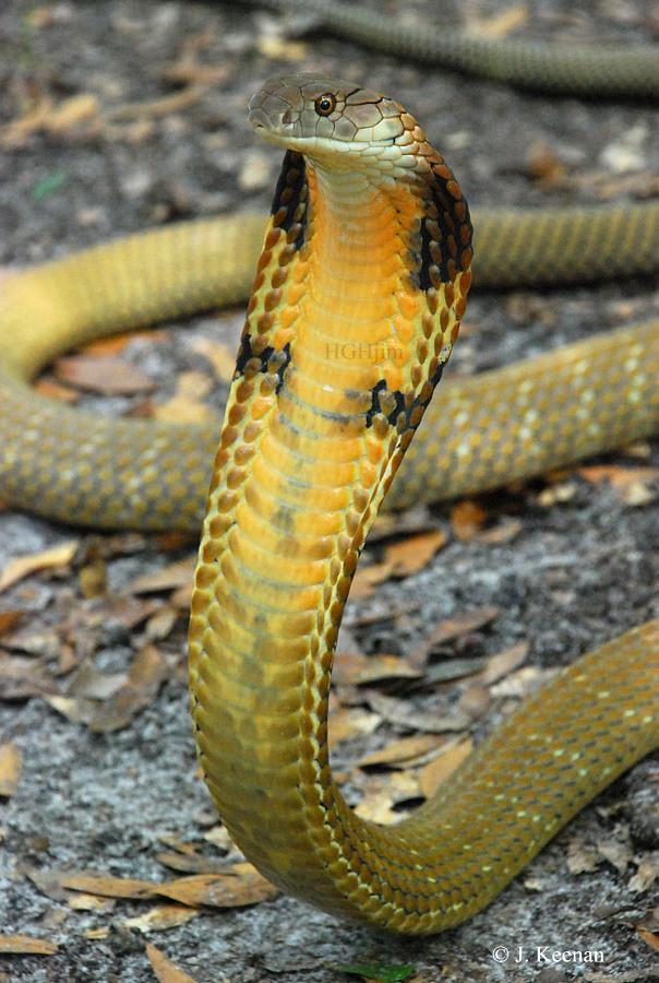 King Cobra - Ophiophagus hannah | HGHjim | Flickr