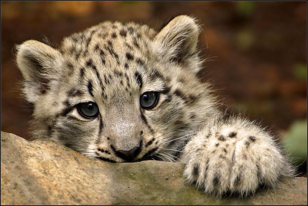 Baby white leopard - photo#24