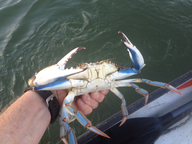 Photo courtesy of Jim Livingston, Jim Livingston showing a bushel of blue crab