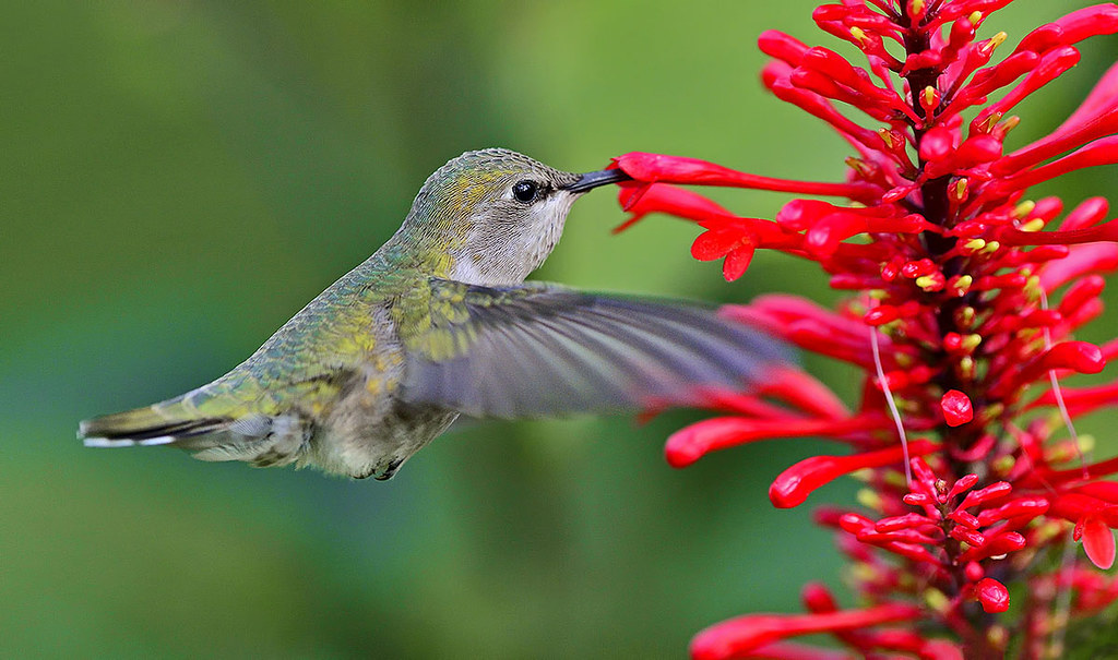 Female Costa S Hummingbird Feeding On Firespike Flower Wi