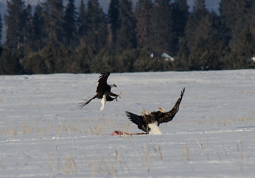Eagle Fight 4 | by jkmnomads