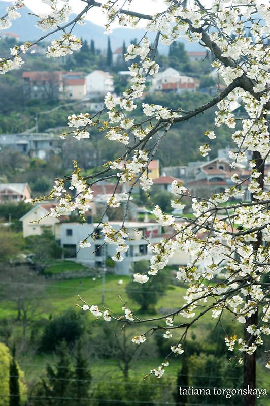 Дерево черешни в цвету