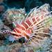 hawaiian_turkeyfish2