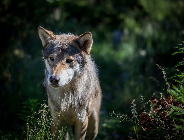 根據統計,挪威約只剩下68隻野狼,屬於該地區的極度瀕危物種。 Flickr_Tom Bech