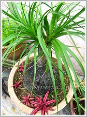 Potted Nolina/Beaucarnea recurvata and Cryptanthus bivittatus 'Ruby', January 28 2014
