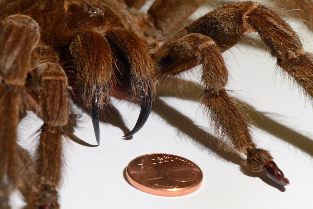 The Goliath Birdeater Theraphosa Blondi Spider