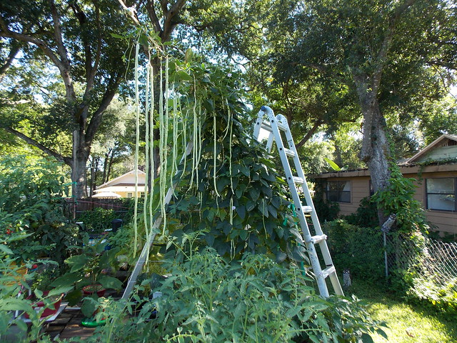 Chinese Long Beans Square Foot Hydroponics Chinese