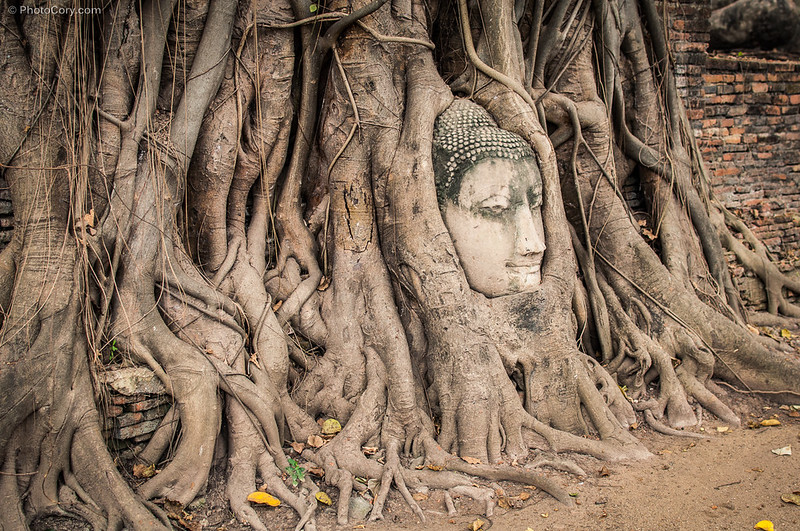 head of Buddha in the tree