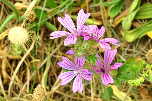 Botanischer Spaziergang am Atlantik (Bretagne) - Wildpflanzen in Küstennähe - hier: Wilde Malve - Foto: Brigitte Stolle 2016