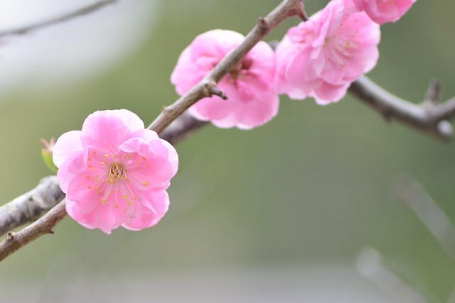 ume blossoms 8
