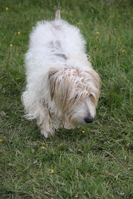 Long Haired Jack Russell