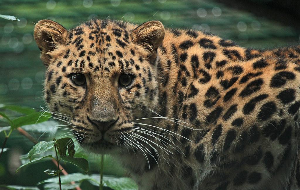 amur leopard dortmund img 0434 safi kok flickr. Black Bedroom Furniture Sets. Home Design Ideas