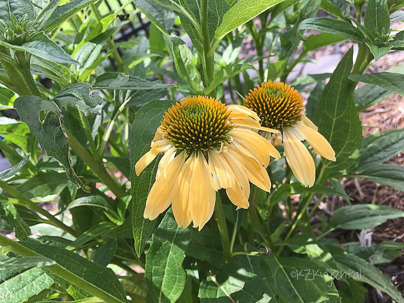 IMG_0591CheyenneSpiritConeflower