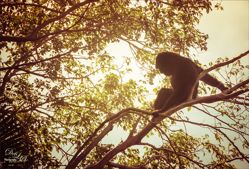 Image of a Siamang Ape in a tree at the West Palm Beach Zoo