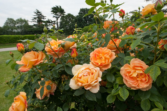 lady of shalott rose - photo #18