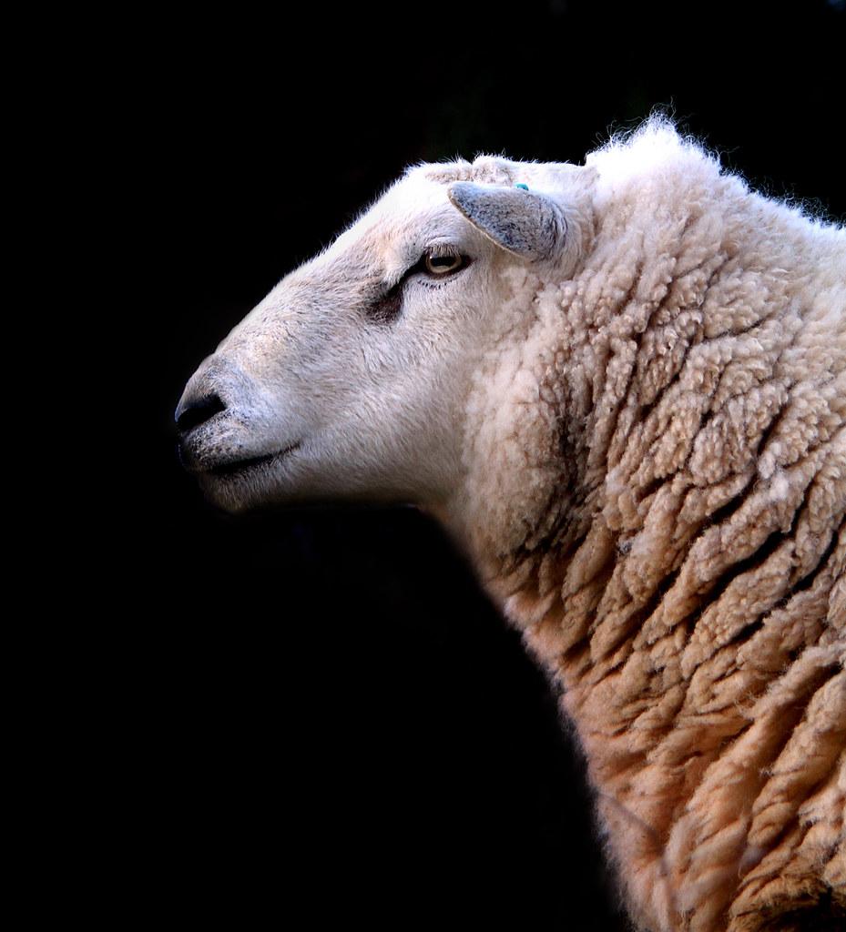 sheep profile | a sheep profile shot, I've tried to make ...